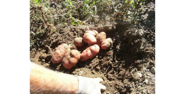 16 febbraio - Patate locali: mantenimento in purezza e problematiche fitosanitarie