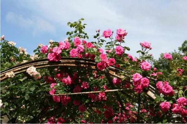 """Concorso """"La più bella rosa"""""""