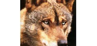 21-30 aprile – Medwolf. Le migliori pratiche di conservazione del lupo nelle aree mediterranee