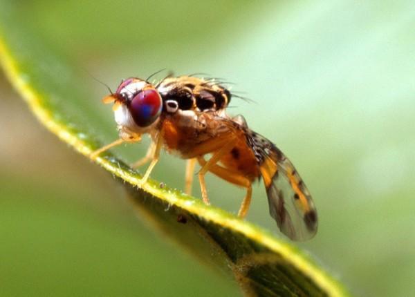 Sequenziato il genoma della mosca mediterranea della frutta, una delle specie più dannose alla frutticoltura mondiale