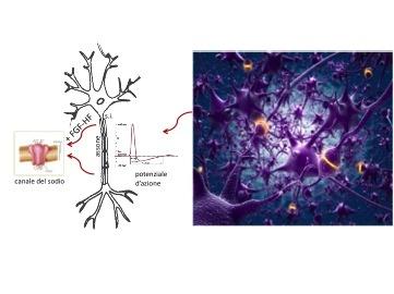 Il processo di generazione dei segnali nervosi rivisitato dai ricercatori dell'Università di Pavia