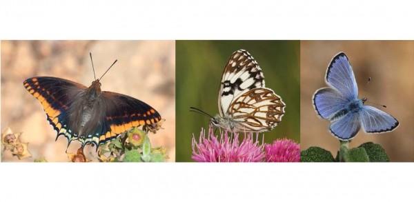 9 giugno – Farfalle di Liguria