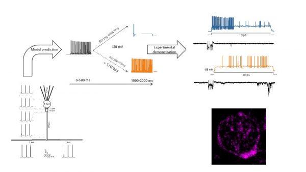 Modelli matematici prevedono una complessità insospettata nelle cellule più semplici del cervello