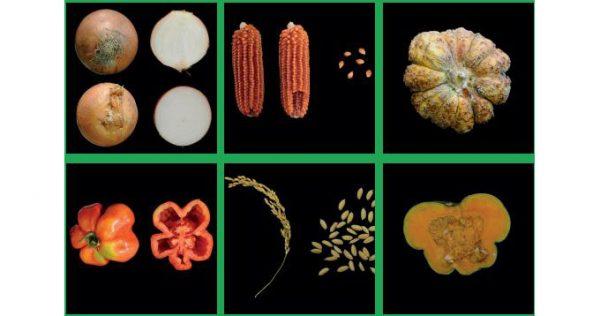Le varietà agronomiche lombarde tradizionali a rischio di estinzione o di erosione genetica