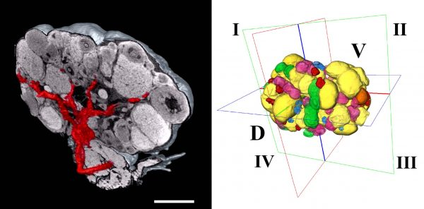 Vedere è credere: un atlante funzionale digitale 3D dell'ovaio (e di altri organi)